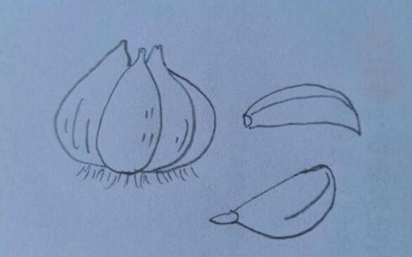 可以杀掉细菌的大蒜简笔画步骤教程