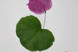 用树叶制作一幅非常好看的荷花树叶画步骤教程