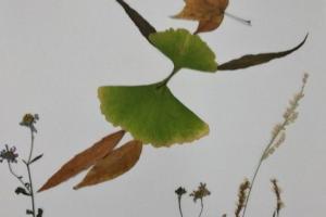 用银杏叶制作一位正在飞翔的少女的树叶贴画步骤教程